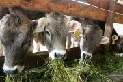 Minagricultura entregará 30 mil toneladas más de alimentación bovina en departamentos con declaratoria de calamidad
