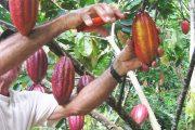 En el Cesar buscan aumentar producción cacaotera