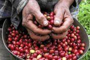 MinAgricultura oficializa recursos para insumos de caficultores afectados por Fenómeno del Niño