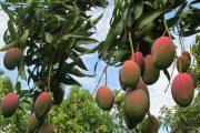 Jóvenes de colegios agropecuarios se capacitan en el manejo de moscas de la fruta