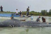 Encuentran 115 vasos de plástico dentro de ballena muerta