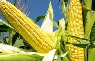 La importancia de mejorar la productividad del maíz
