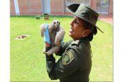 Policía Ambiental y Ecológica rescató a oso perezoso