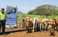 22 bovinos fueron aprehendidos en zona rural de Becerril