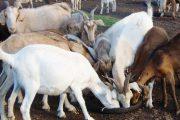 Productores de ovinos y caprinos de Uribia y Maicao, se capacitan para competir en grande