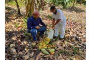 Beneficiaria de restitución de Cesar le está vendiendo el cacao que cultiva a la Compañía Nacional de Chocolates
