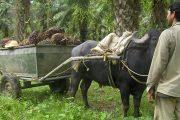 Cultivadores de palma de aceite, en el Cesar, se capacitan para mejorar la producción