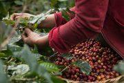 Anuncian medidas para apoyar a los productores cafeteros