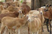 Productores de especies ovinos y caprinos, a obtener el Registro Sanitario y la Inscripción Sanitaria de Predio Pecuario