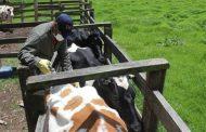 Venezolanos pueden acceder a las vacunas contra la fiebre aftosa y brucelosis bovina en zona fronteriza de Colombia