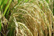 En Fonseca, productores conocen nuevas variedades Fedearroz
