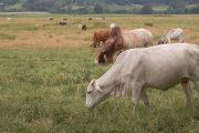 El ICA y ganaderos trabajan por una Colombia libre de brucelosis y tuberculosis bovina