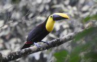 Corpocesar reportó dos nuevos registros de aves a la lista del Global Big Day