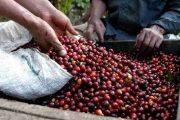 Implementarán medidas financieras para apoyar a productores de café