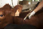 Se amplía plazo del primer ciclo de vacunación contra la fiebre aftosa y la brucelosis bovina en algunas zonas del país