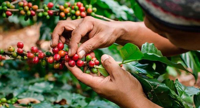 $ 13.900 millones invertirán en el sector cafetero de Cesar