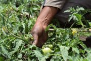 90 % del tomate utilizado en la alimentación escolar de los niños de La Guajira fue cultivado por excombatientes de las Farc