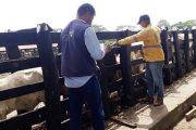 Ganaderos de La Guajira, cumplen con el ciclo de vacunación contra la fiebre aftosa