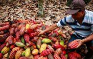 Cacaoteros del Cesar le apuestan a las Buenas Prácticas Agrícolas