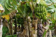 Ante la sospecha de Fusarium Raza 4 Tropical, en Cesar se instaló Puesto de Mando Unificado (PMU)