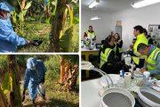 El ICA realiza vigilancia en el 100 % de las fincas sembradas con banano Cavendish en La Guajira