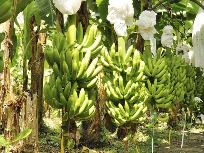 El ICA y el PMU arrecian actividades del Plan contra el Fusarium Raza 4 Tropical