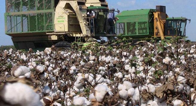 Empieza la temporada de cultivo de algodón en la región Caribe