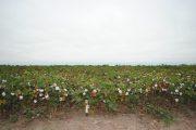 Destinarán $ 5.000 millones para la siembra y comercialización de algodón