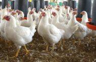 Se busca fortalecer los planes de contingencias contra la influenza aviar en Colombia