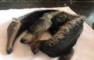 Rescatan oso palmero en jurisdicción de San Diego (Cesar)