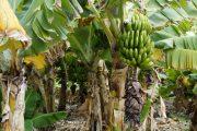 En busca del fortalecimiento de los cultivos de banano y plátano en el país