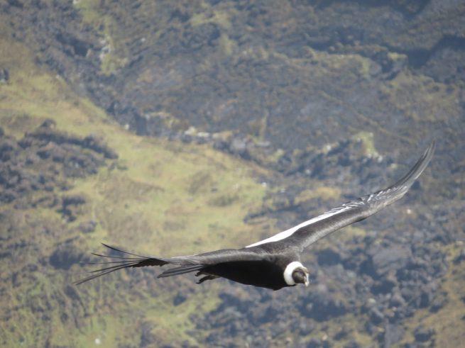 Mejores especialistas del mundo, se reunirán en Valleudpar para El III Congreso Internacional de Cóndor Andino