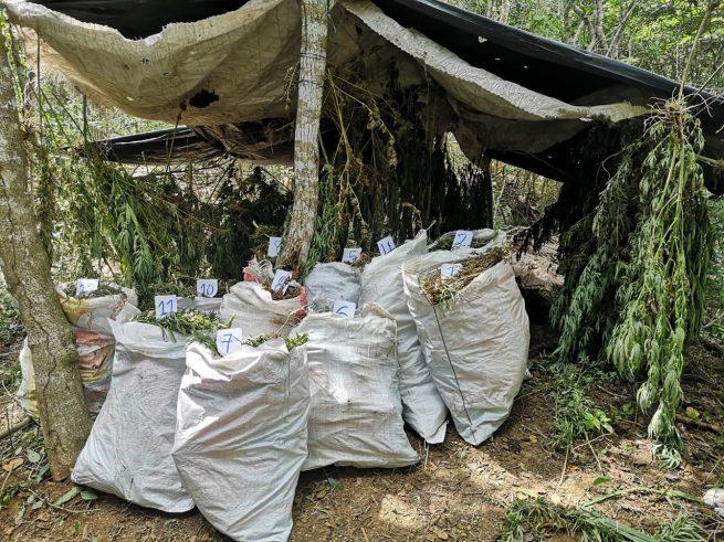 Destruido centro de acopio para la concentración de producción de marihuana en La Guajira