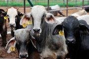 El ICA trabaja con los ganaderos para el uso responsable de los medicamentos veterinarios en el país