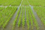 En 2020, la meta del Plan de Ordenamiento de la Producción de Arroz es sembrar 531.413 hectáreas