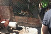 En el municipio de La Paz, rescatados un tigrillo y cuatro animales silvestres