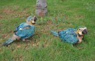 En el Centro de Fauna Silvestre de Corpocesar, nacen dos polluelos de guacamayas