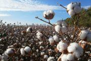Usar semillas certificadas es la recomendación a productores