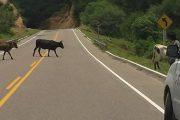 Conductores, a tener prudencia para evitar siniestros viales con animales