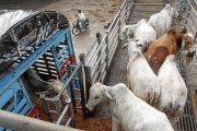 Crece el número de ganaderos que expiden en línea sus guías sanitarias de movilización de animales