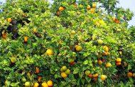 ¿Qué es la Naranja agria o amarga?