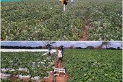 Producción de melón en Maicao y Albania sigue adelante con el apoyo del ICA