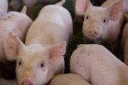 Se alista norma para controlar la peste porcina clásica en cerdos miniatura