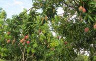 Los viveros y cultivos frutales del Cesar, con vigilancia del ICA