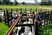 Ciclo I ha logrado vacunar contra aftosa 26,4 millones de bovinos