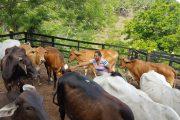 Proyecto ganadero de mujer restituida es ejemplo de sostenibilidad económica en El Copey, Cesar