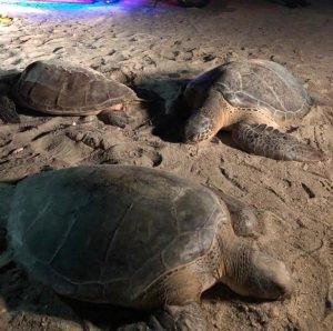 Liberadas nueve tortugas marinas después de haber sido decomisadas en Carrizal (La Guajira)