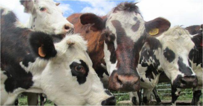 El ICA actualizó la normativa para la prevención y control de la brucelosis en el país