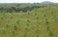Cultivos forestales con fines comerciales en Riohacha, en el marco de la nueva norma ICA