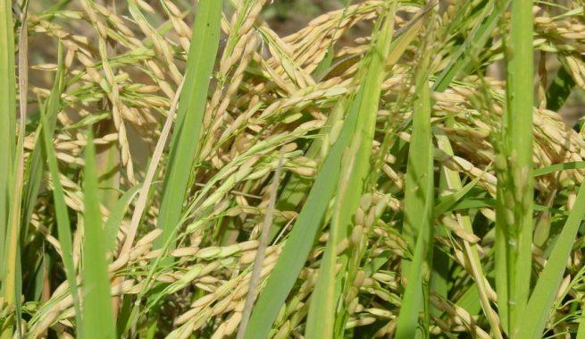 El llamado al Gobierno y la industria molinera para que atiendan las peticiones de los productores de arroz, hizo Dignidad Agropecuaria